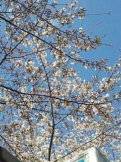 善意の桜も花ひらく