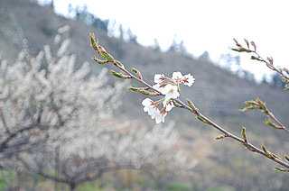 崖の下にも3年、ついにソメイヨシノも花を咲かせました