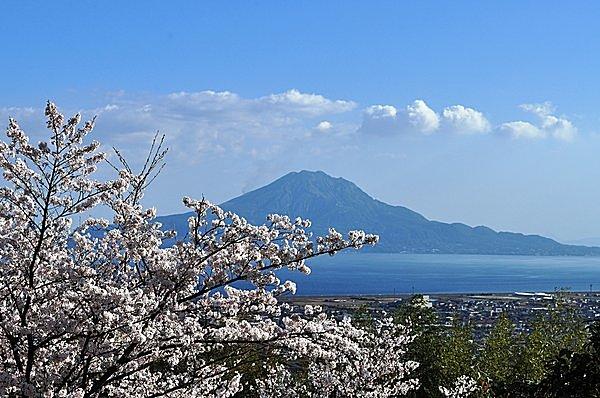 桜ごしに臨む桜島の勇姿