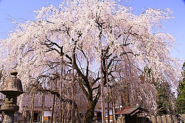 足羽神社には樹齢350年のシダレザクラも