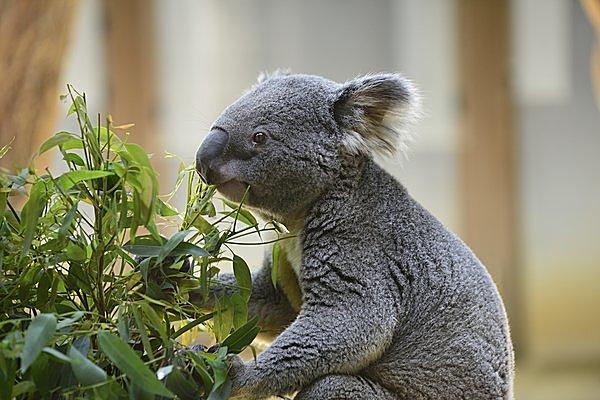 コアラの主食はユーカリの葉。