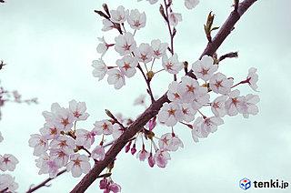 復興記念桜・満開宣言!