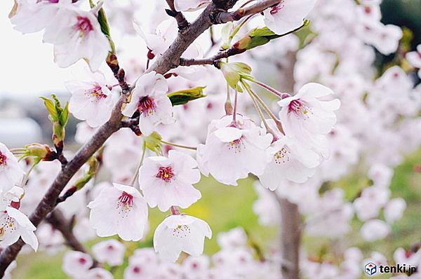 雨にも風にも負けず 復興記念桜花開く