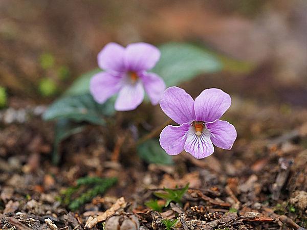 すみれの花の色から「菫外線」という名も