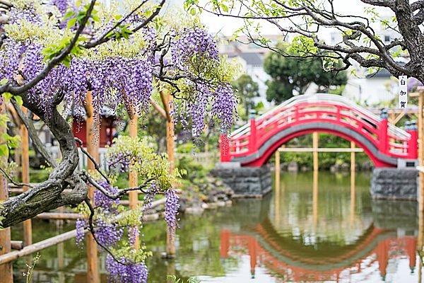 心字池の水面に藤と太鼓橋が映る亀戸天神社