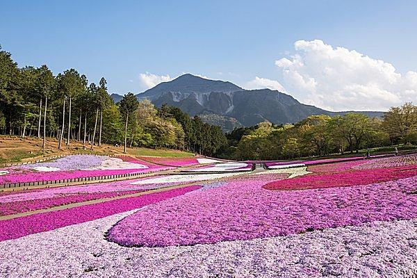 ピンク色の絨毯にうっとり……