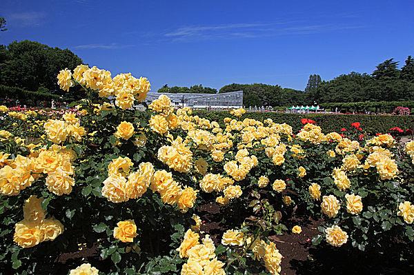 都内最大の広さを誇る「神代植物公園」のバラ園