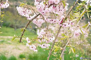 今年も満開!あさって復興記念桜は6年生