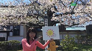 2017北海道桜レポートvol.1~まるで桜の海~