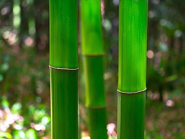 竹の花は120年にいちど咲く!?  七十二候<竹笋生(たけのこしょうず)>