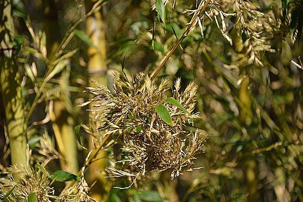 竹の花。想像以上にイネっぽいですね…