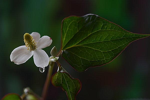 半日陰にひっそり咲く白い花「ドクダミ」の過酷な環境に負けない強さの秘密とは?