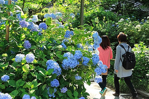初夏の鎌倉といえば、紫陽花。見どころは? なぜ鎌倉に多く咲くの?