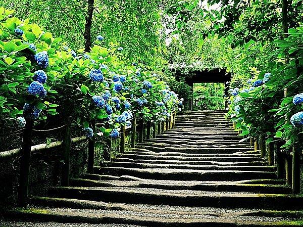 写真は明月院。明月院ブルーに染まる参道