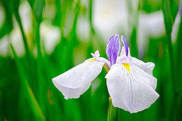 「花しょうぶ」には様々な種類があり目を楽しませてくれます