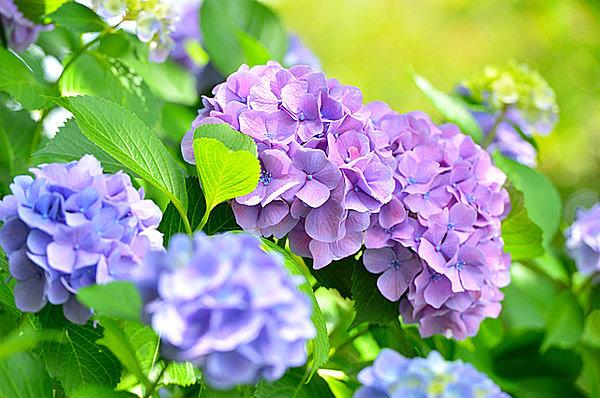 6月はアジサイの季節。アジサイにはたくさんの逸話がありました