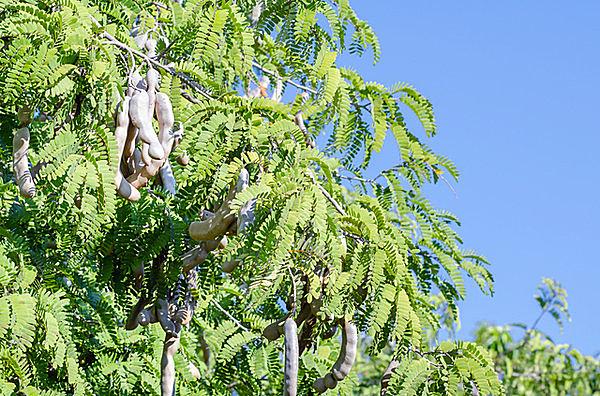 木に生る野菜、タマリンド