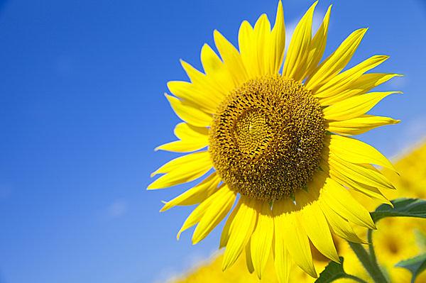 二十四節気「大暑」。酷暑極まる夏土用、三伏の候