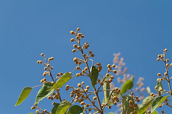 キリの蕾。花を結ぶとは美しい言葉ですね