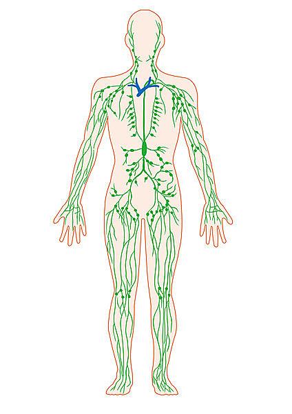 リンパ管も血液と同様体中に張りめぐらされている