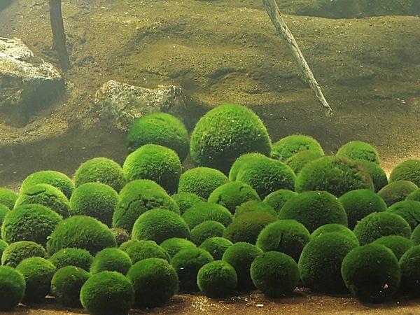 3月29日は 「マリモの日」。丸くて大きいマリモの群生は世界で阿寒湖だけ !!
