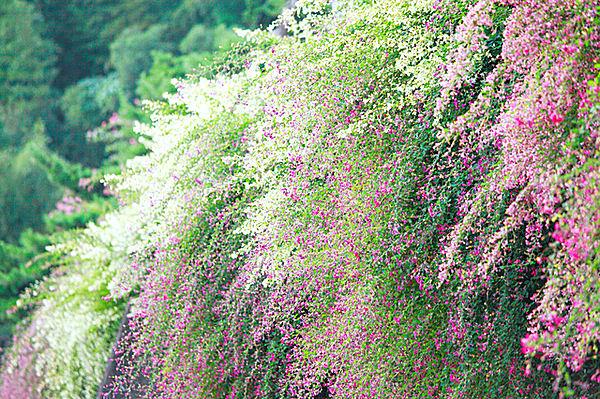 旧暦の中秋は8月。早くも「秋の七草」の季節始まってます!