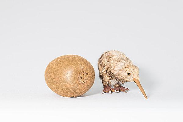 ニュージーランドの鳥キウイに似ているから「キウイフルーツ」