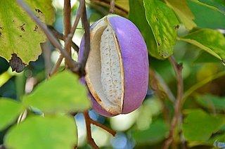 9月が旬の「アケビ」。アケビは万能な植物って知ってましたか?