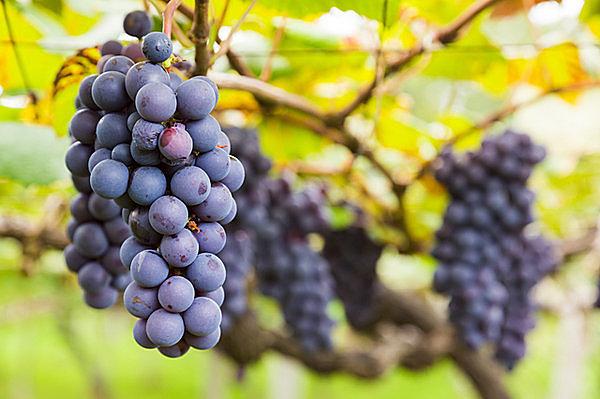 秋はブドウの季節!意外と知らないブドウの歴史