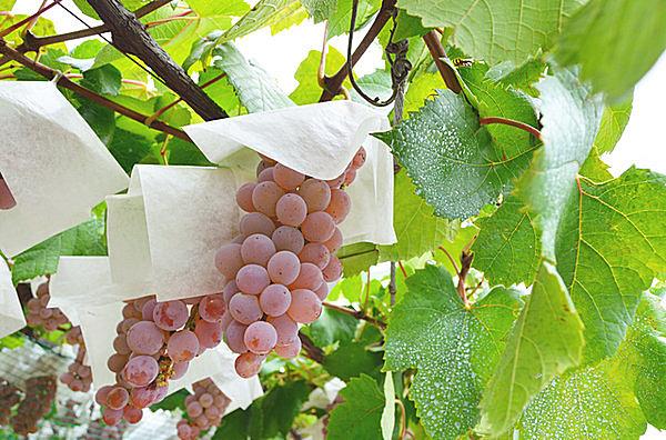 日本古来のブドウ「甲州」