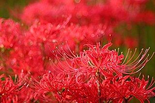 9月23日は秋分の日=お彼岸。埼玉県日高市で「巾着田 曼珠沙華まつり」開催中!