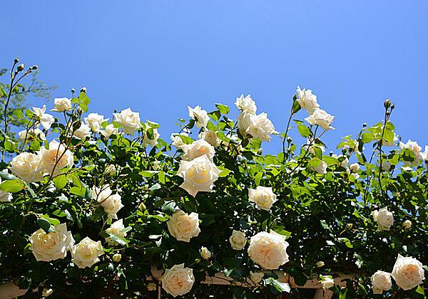 純真な気持ちにさせてくれる「白バラ」