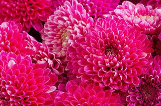華麗で可憐!多様な菊の世界。菊の種類いくつ思い浮かびますか?