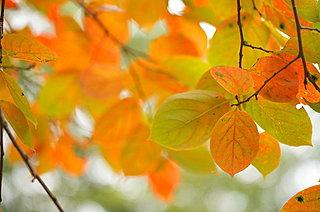 二十四節気「立冬」。木枯らし一号も吹き、樹木が思い思いに色づくころ