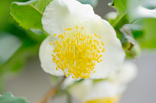 時雨と小春日和の合間、金色の蘂が優美な「茶の花」が花開いて