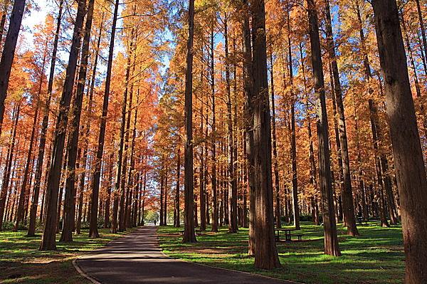 見上げる青空に映える燃えるような煉瓦色。メタセコイアの紅葉も圧巻