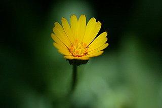 寒い季節に元気をくれる冬知らず。ホンキンセンカが咲き始める頃、七十二候「金盞香」