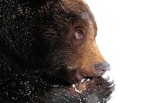 クマにトラ…大雪次候はドハデな猛獣シリーズ!七十二候「熊蟄穴(くまあなにこもる)」