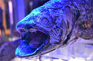 シーラカンスって鮭みたいに食べられるの!?〜七十二候「鱖魚群」〜