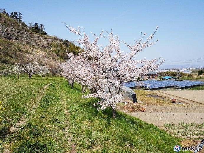 東松島市 復興記念桜 生長する桜とともに