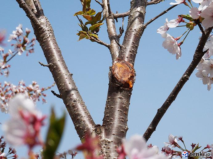 枝を切り落として、切り口を保護してくださったようす(2019年4月23日撮影)