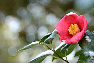 一足早く新しい春の到来を愛でる花「椿」。こんなよもやま話ご存知ですか?