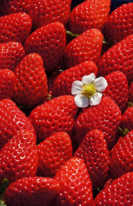 和歌山のオリジナル品種「まりひめ」は色・香り・甘みとも強く大粒!