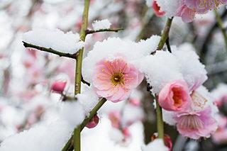 寒梅や雪ひるがへる花の上—俳句歳時記を楽しむ
