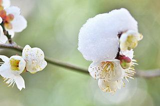 本日より如月・2月。寒さの中に、春を継げんと咲く梅の花