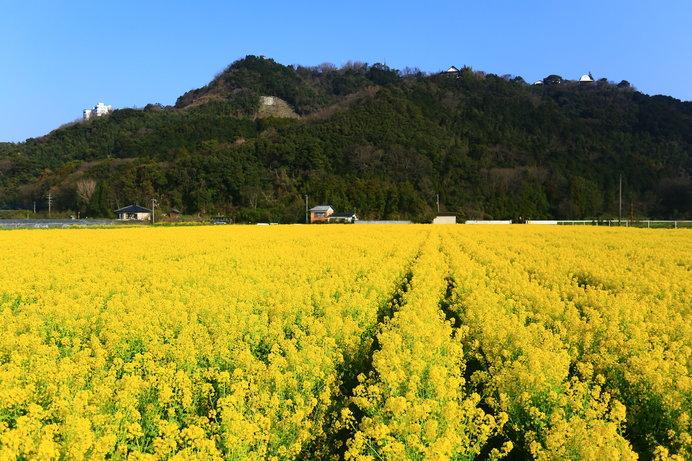 道の駅「原鶴」前は約80万本の菜の花で黄色に染まります