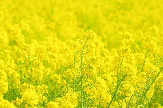 春には「道の駅 しんよしとみ」前の広場は菜の花色に