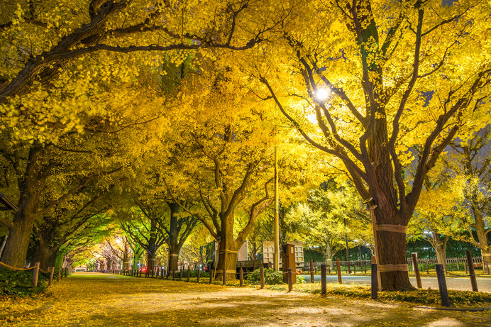 秋に黄葉する並木 奥には「御観兵榎」
