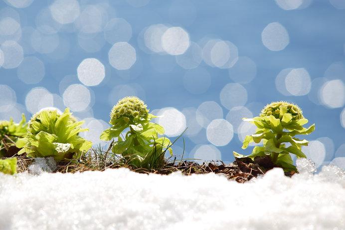 山菜の春間近!ごく身近な美味しい野草を予習しておきましょう