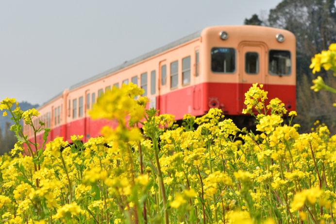 小湊鉄道が菜の花の中を走る風景も人気